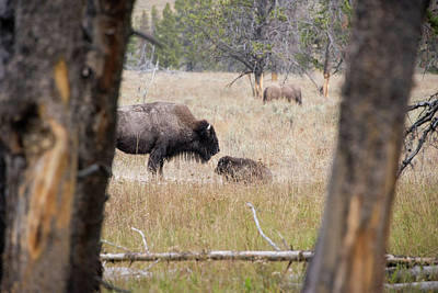 Photograph - Bison Mom And Baby by Jennifer Ancker