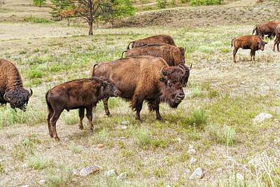 Photograph - Bison Mom And Son by John M Bailey