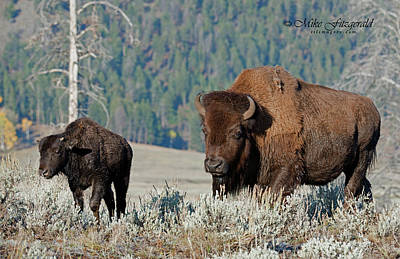 Photograph - Bison Mom And Youngster by Mike Fitzgerald