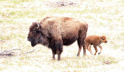 Photograph - Bison Mother And Calf by Steve McKinzie