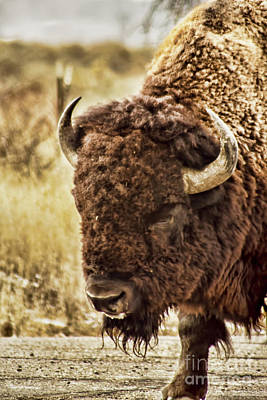 Photograph - Bison Nod by Steven Parker