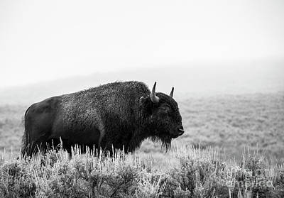 Photograph - Bison by Olivier Steiner