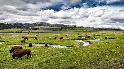 Bison Photograph - Bison On Rose Creek - Yellowstone by NPS Neal Herbert