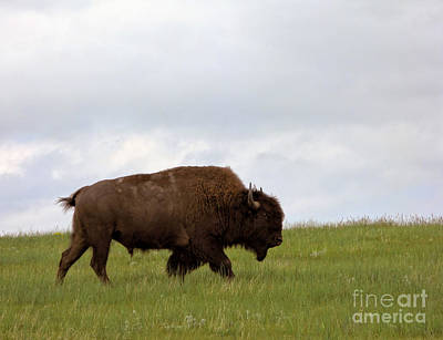 Migration Photograph - Bison On The American Prairie by Olivier Le Queinec
