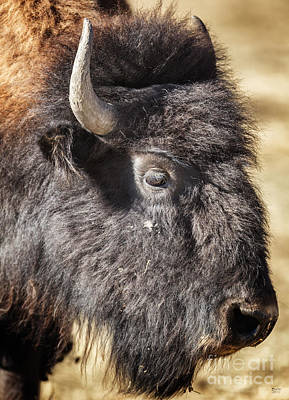 Photograph - Bison On The Range by David Millenheft