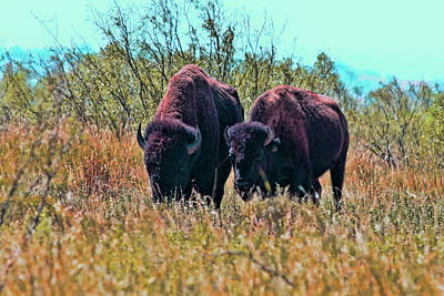 Bison Pair At Cap Rock Original by Joyce Meck