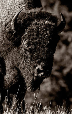 Photograph - Bison Portrait by Wes and Dotty Weber
