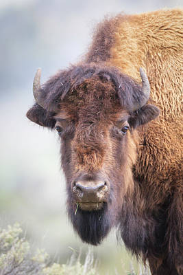 Photograph - Bison Portrait by Jack Bell