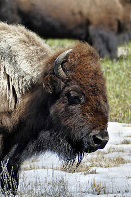 Photograph - Bison Profile by Jeff Brunton
