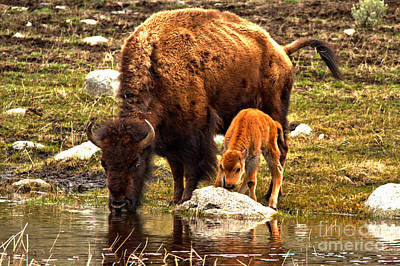 Photograph - Bison Red Dog With Mom by Adam Jewell