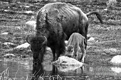 Photograph - Bison Red Dog With Mom Black And White by Adam Jewell