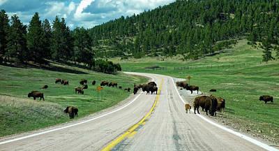 Roadblock Photograph - Bison Roadblock by Aline Dassel