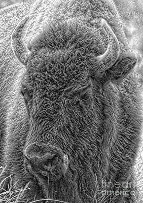 Print featuring the photograph Bison  by Robert Pearson