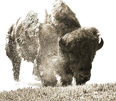 Photograph - Bison Splashing by Dan Sproul