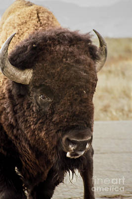 Photograph - Bison by Steven Parker