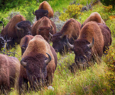 Photograph - Bison Surge Uphill by Brian Brandt