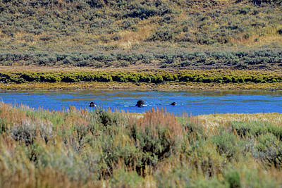 Photograph - Bison Swimming The Yellowstone River by Marilyn Burton