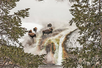 Photograph - Bison Taking A Steam Bath by Sue Smith