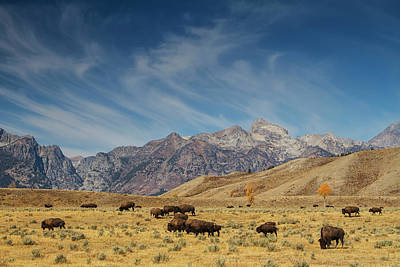 Animals Photos - Bison The National Mammal by Mark Kiver