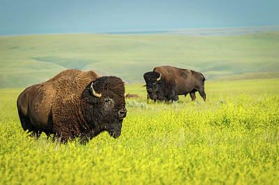 Bison Art Print by Tracy Munson