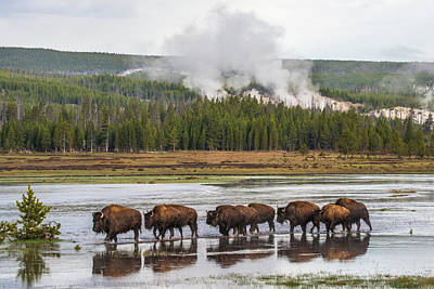 Photograph - Bison Trek At Dawn by Yeates Photography