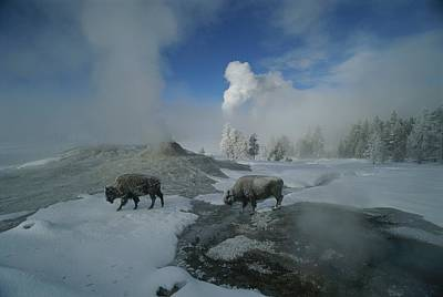 Bison Walking In Front Of Lion Geyser Print by Norbert Rosing