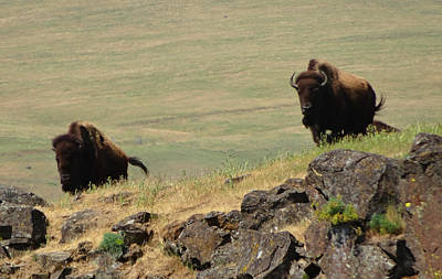 Photograph - Bison Watch by Jacqueline  DiAnne Wasson