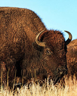 Photograph - Bison Wild Eye by Bill Kesler