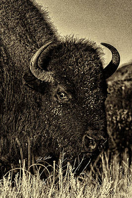 Photograph - Bison Wild Eye - Black-and-white by Bill Kesler
