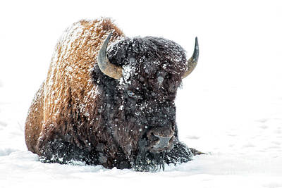 Photograph - Bison Winter by Sonya Lang