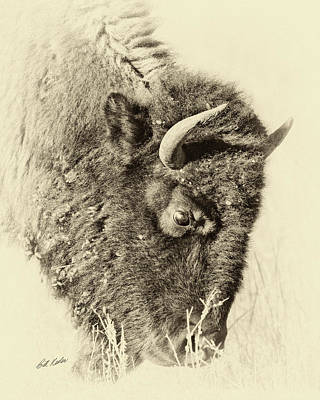 Photograph - Bison With Burs - Sepia Tone by Bill Kesler