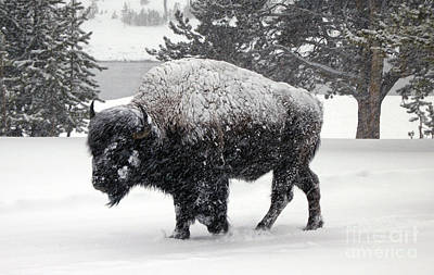 Photograph - Bison - Yellowstone by Cindy Murphy - NightVisions