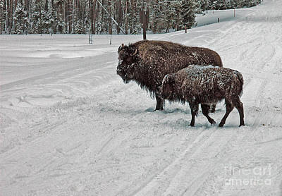Photograph - Bison - Yellowstone Winter by Cindy Murphy - NightVisions