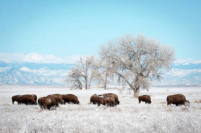 Photograph - Bisons In A Winter Morning  by Catherine Lau