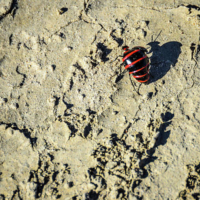 Photograph - Bisti Badlands - Red And Black Blister Bug by Debra Martz