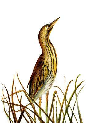 Painting - Bittern Bird by Alison Langridge