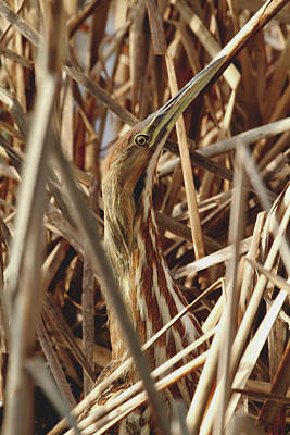 Photograph - Bittern Camouflage by Craig Strand