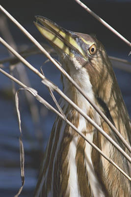 Photograph - Bittern Peeking by Craig Strand