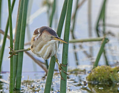 Photograph - Bittern Spilt by Mike Fitzgerald