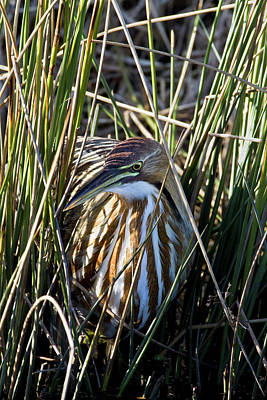 Photograph - Bittern Through The Reeds by Craig Strand