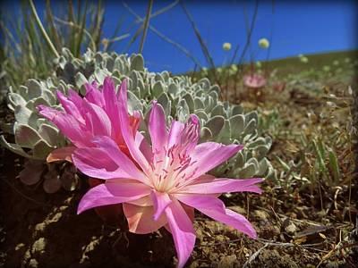 Eriogonum Photograph - Bitterroot by Leah Grunzke