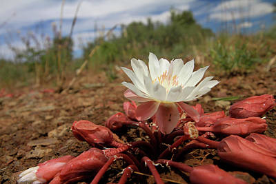 Photograph - Bitterroot Wildflower by Ed  Riche