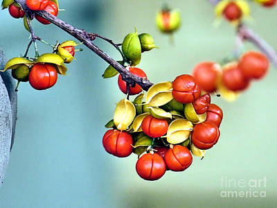 Photograph - Bittersweet Berries by Janice Drew