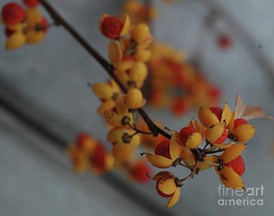 Solanum Dulcamara Photograph - Bittersweet by Kathy Carlson