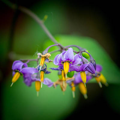 Photograph - Bittersweet Nightshade by Chris Bordeleau