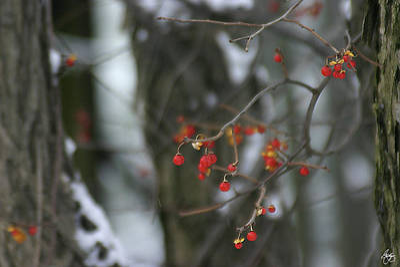 Photograph - Bittersweet Winter by Wayne King