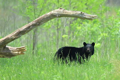 Photograph - Black Bear In Tall Grass by Coby Cooper