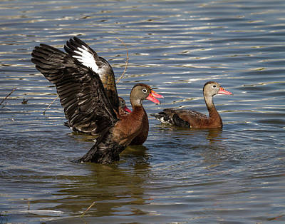 Photograph - Black-bellied Whistling Ducks by Ronald Lutz