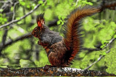 Photograph - Black Abert's Squirrel - Half And Half by Marilyn Burton