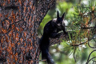 Photograph - Black Abert's Squirrel Posing by Marilyn Burton